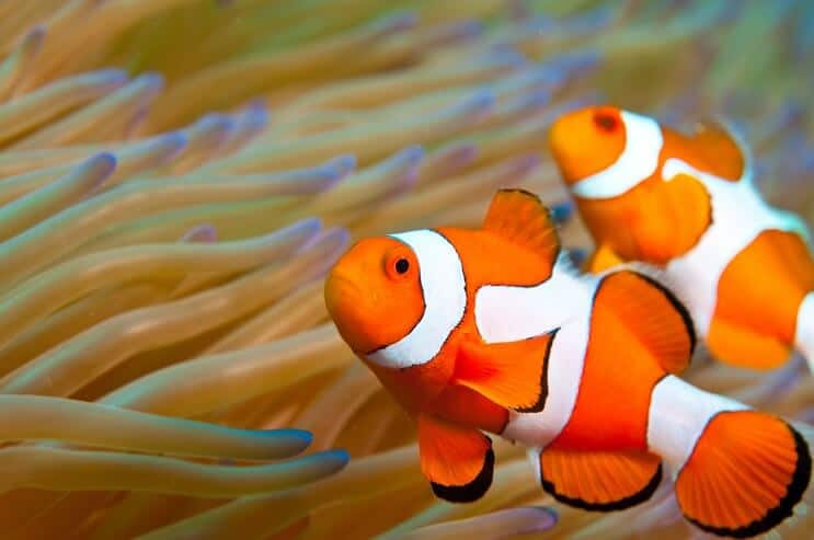 Clownfish Appearance