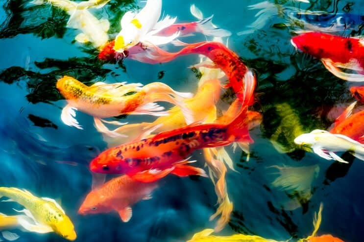 Koi Fish Types