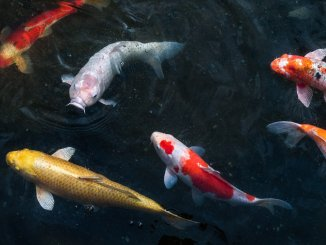 The Ultimate Koi Fish Care And Pond Guide Banner