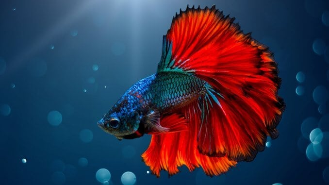 Betta Fish Care Guide, Lifespan, Facts and Compatibility Banner