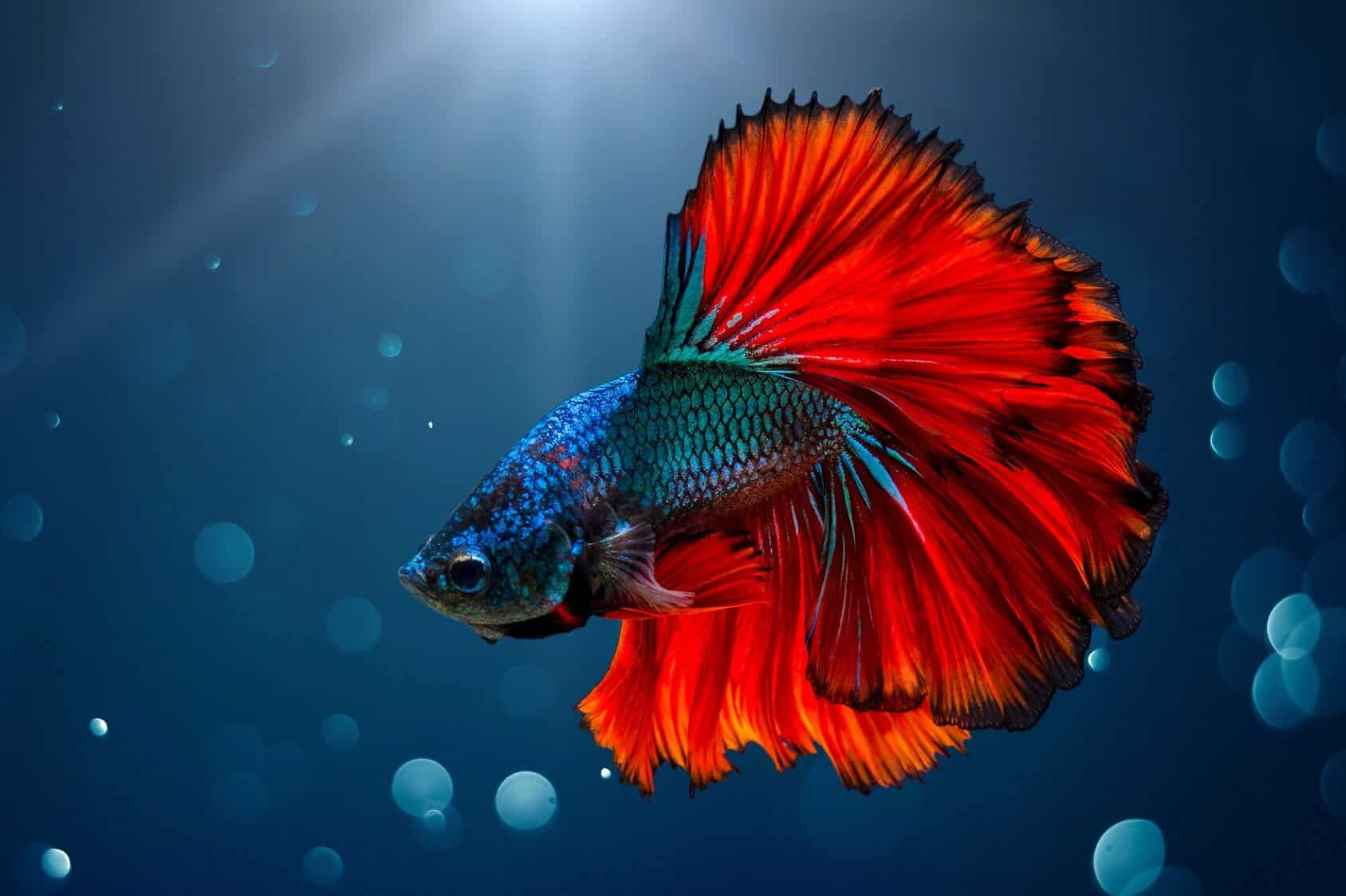 Betta Fish: Care Guide, Lifespan, Facts And Compatibility - Fishkeeping World