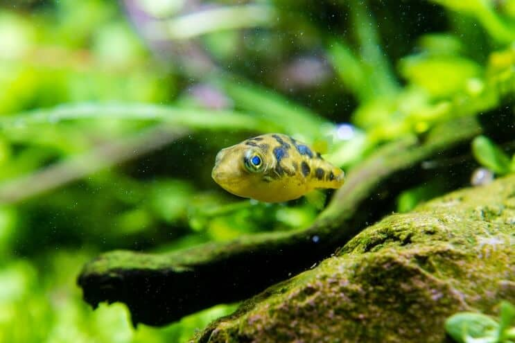Pea Puffer Breeding