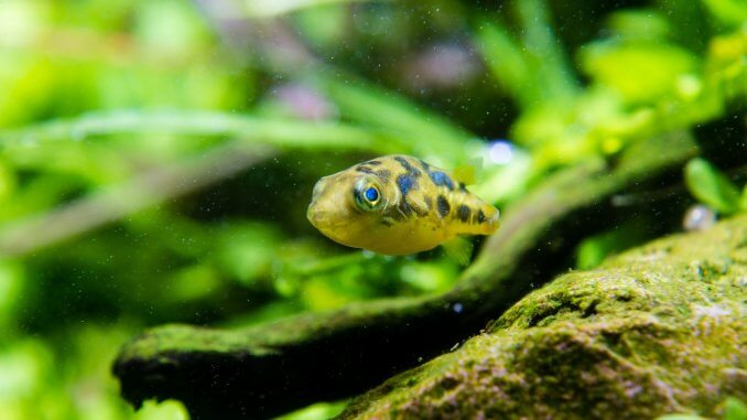 Perfect Pea Puffer Is This Cute Dwarf Fish Ideal For Your Tank? Banner