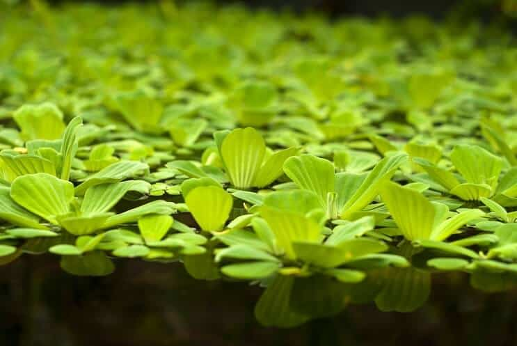 Water Lettuce Floating