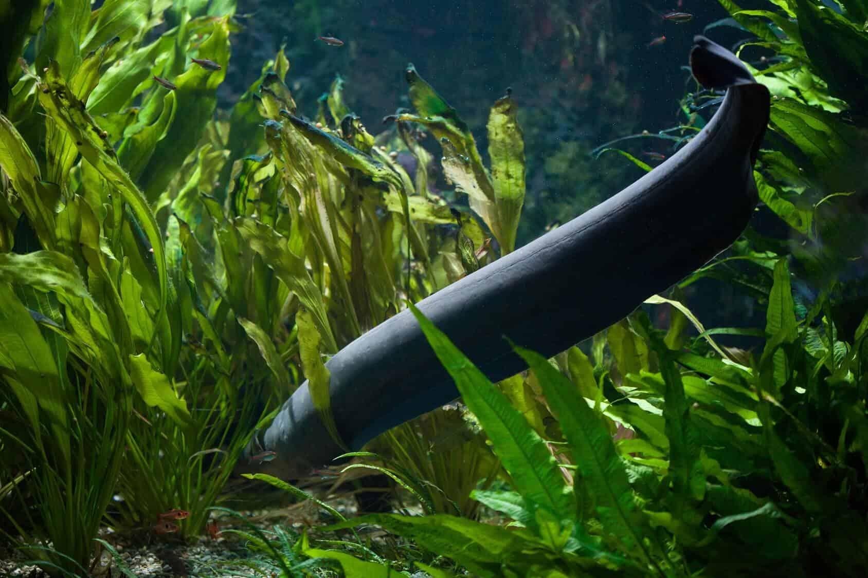 Freshwater Aquarium Eel A Z Best Types