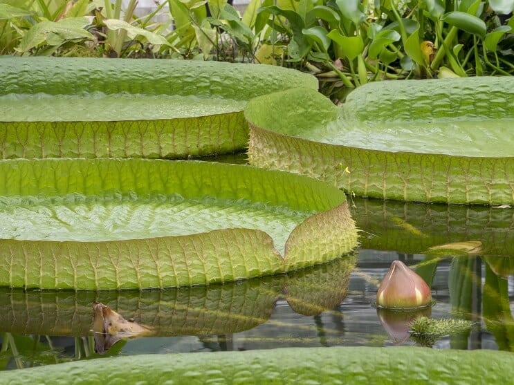 WaterLily Care and Maintenance