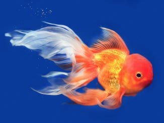 Goldfish A-Z Best Types Of Goldfish (Single-Tail And Fancy) Banner