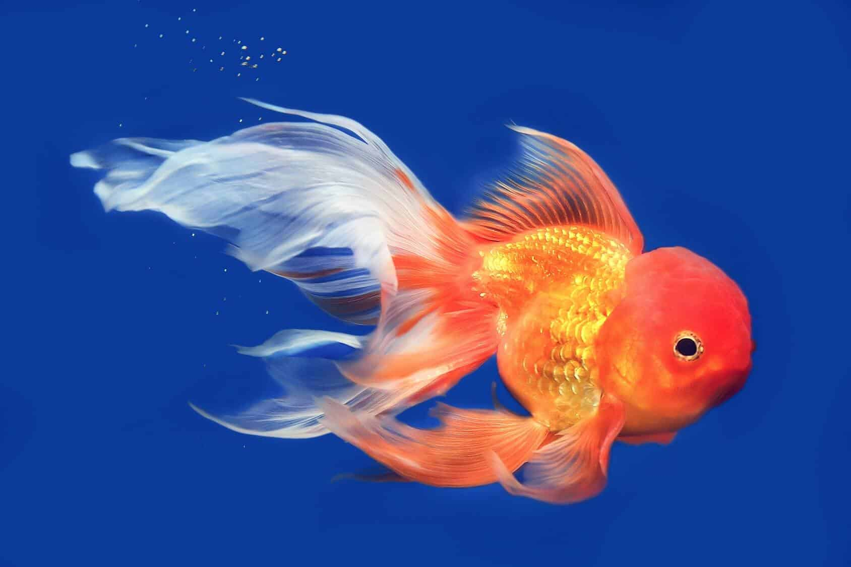 Goldfish: A-Z Best Types Of Goldfish (Single-Tail And ...