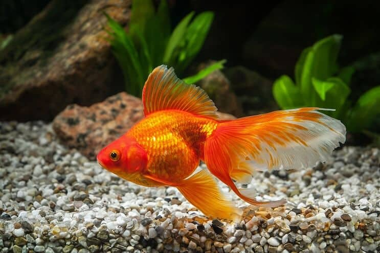 How Long Do Goldfish Live 5 Ways To Increase Their Lifespan Fishkeeping World