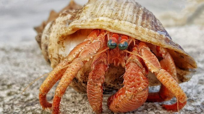 Hermit Crab Appearance