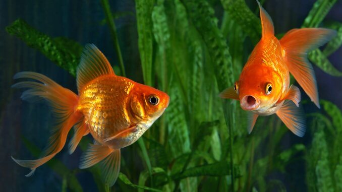 How Long Do Goldfish Live? 6 Ways to Increase Their Lifespan Banner