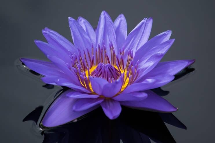 Purple Water Lily appearance