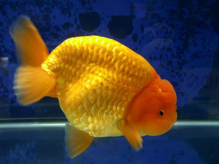 Poisson rouge Ranchu