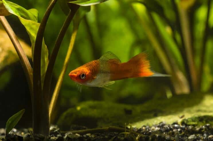 Swordtail Care