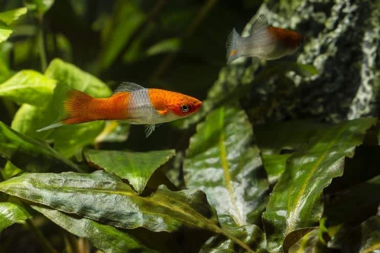 Swordtail Diet