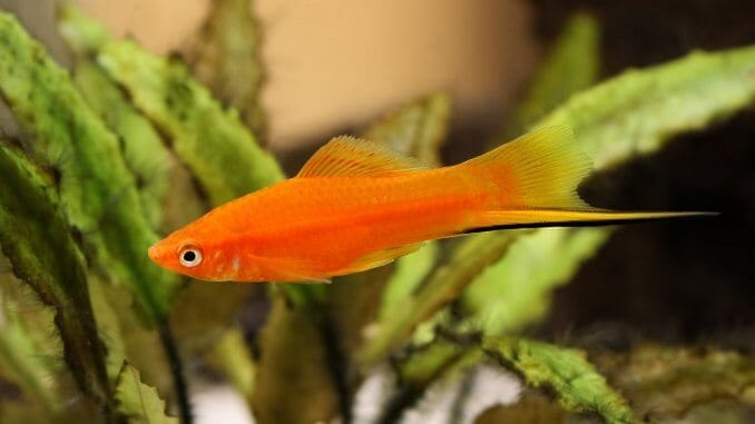 Swordtail Fish Care Guide Are These Lively Livebearers For You? Banner
