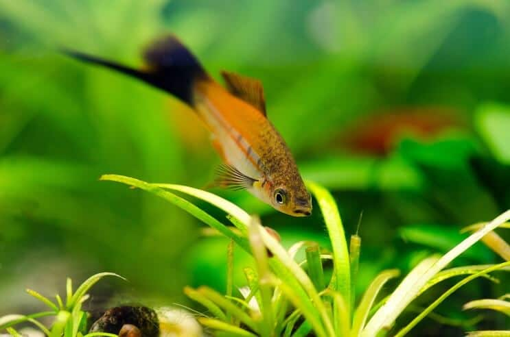 Swordtail Habitat