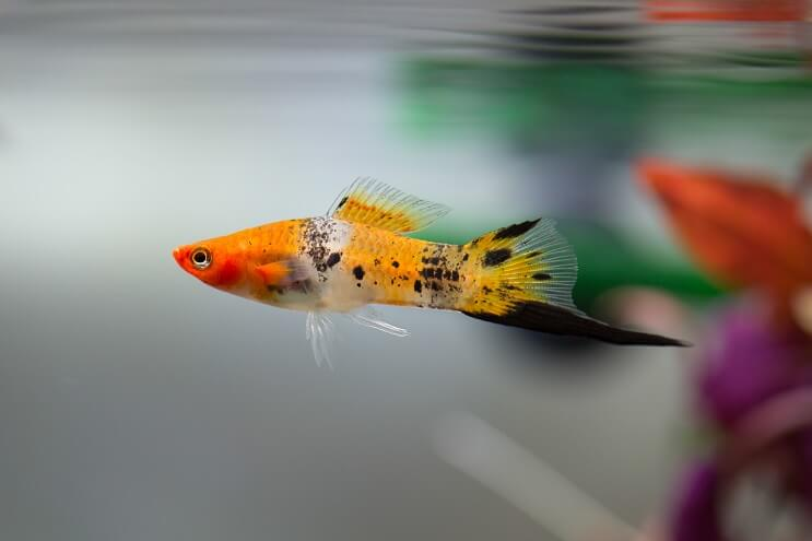 Swordtail Overview