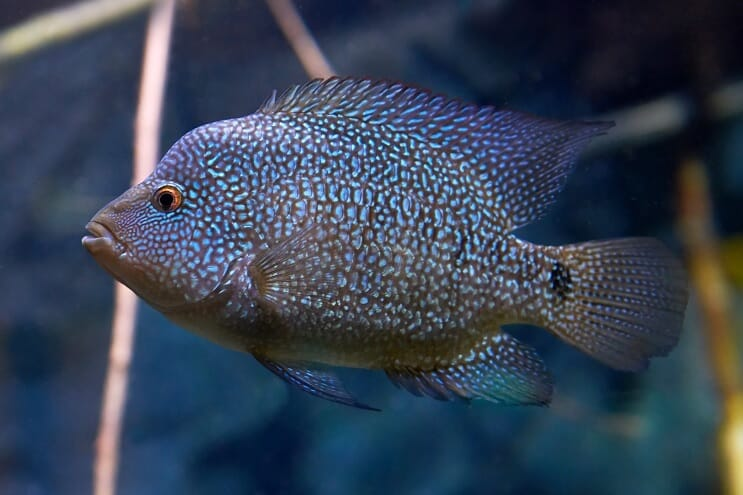 Texas Cichlid Care