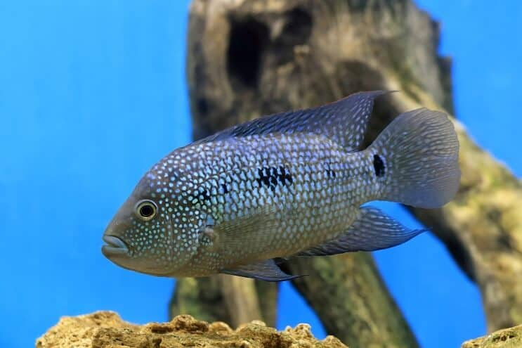 Texas Cichlid Overview