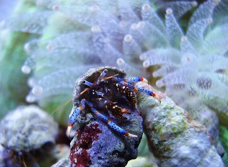 The Blue Leg Hermit Crab