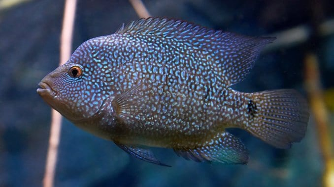 The Complete Texas Cichlid Care Guide Colors, Size, Tank Mates… Banner