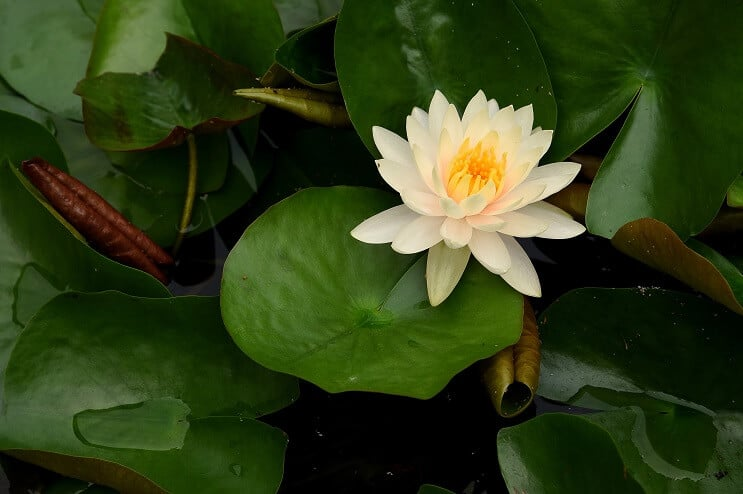 Water Lily Appearance