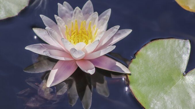 Water Lily The Complete Guide (Care, Growing, Propagation and More…) Banner