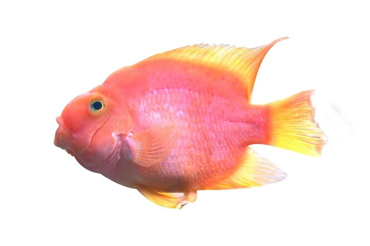 Blood Parrot Cichlid Appearance