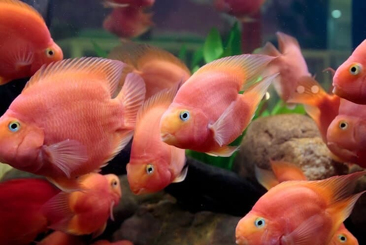 Blood Parrot Cichlid Diet
