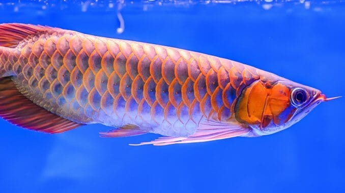 Red Arowana Care Guide A Fishkeeper's Crown Jewel? Banner