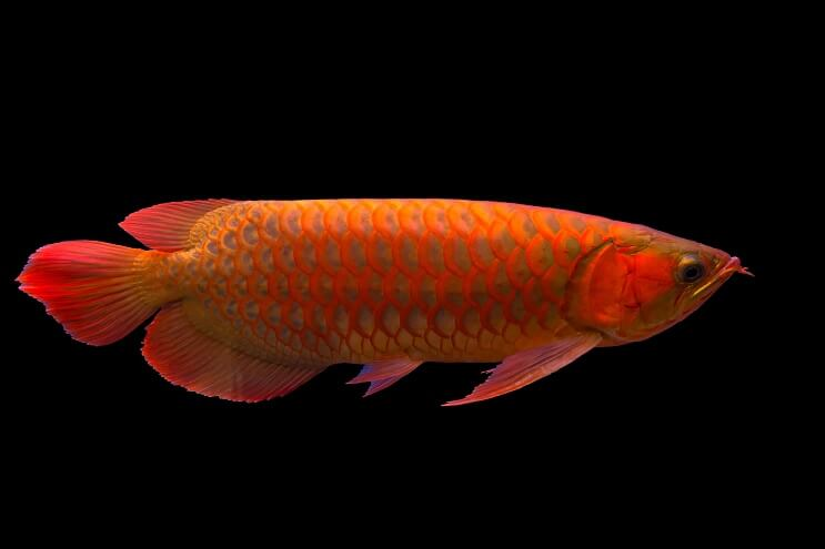 Red Arowana Overview