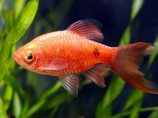 Rosy Barb Tank Setup, Care Guide, Breeding And More… Banner