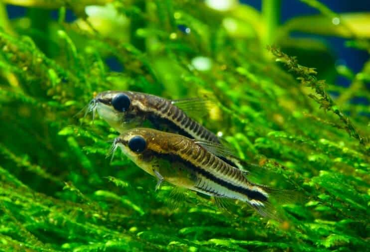 Pygmy Cory Overview