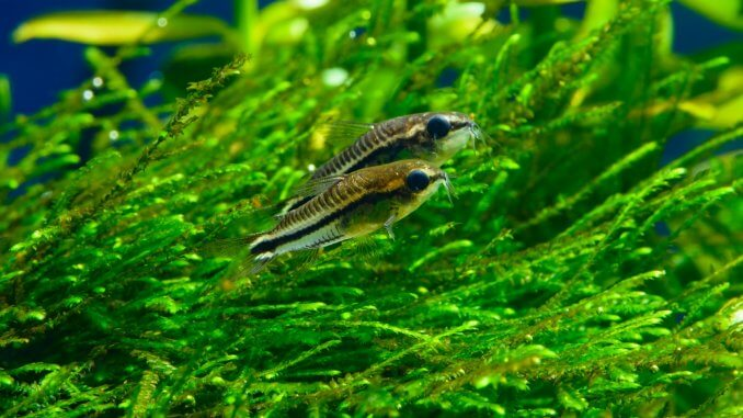 Pygmy Cory Size, Tank Mates, Care and More… Banner
