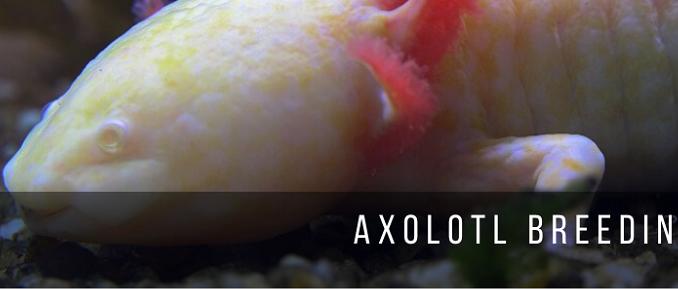 Axolotl Breeding