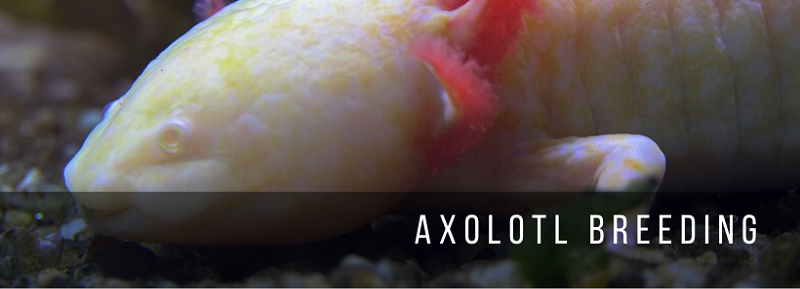 Axolotl Breeding