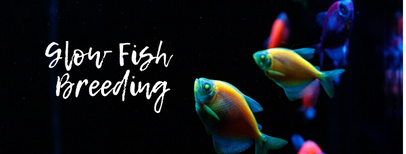 Glow Fish Breeding