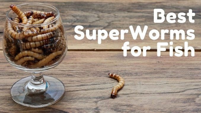 best superworms for fish