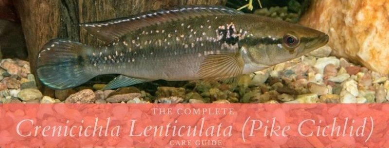 crenicichla lenticulata (pike cichlid)