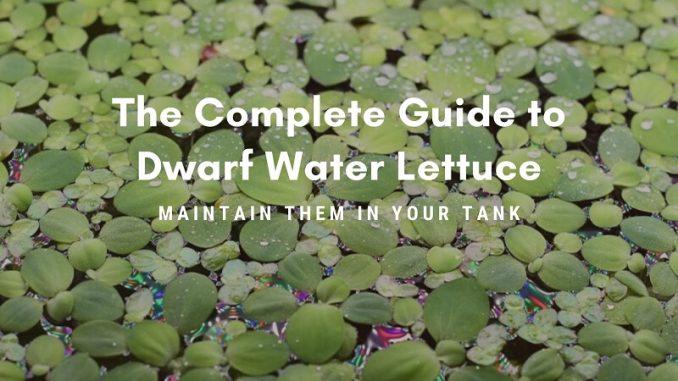 dwarf water lettuce
