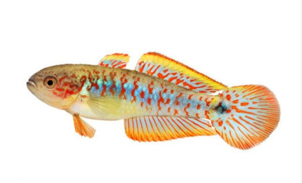 peacock gudgeon