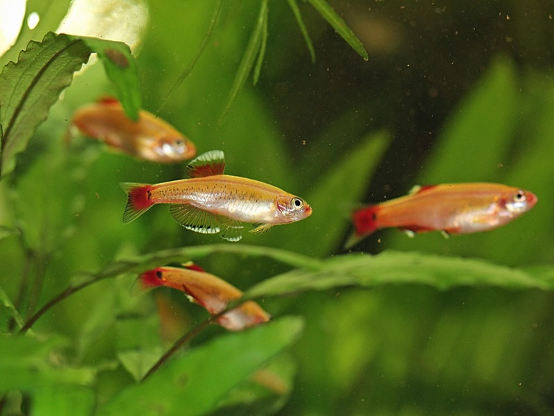 rosy red minnows
