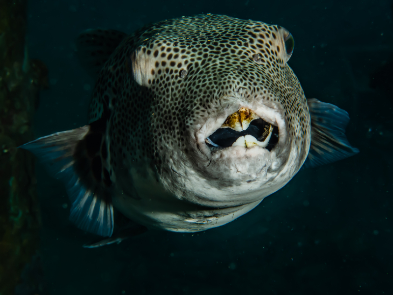 Red Eye Puffer Care