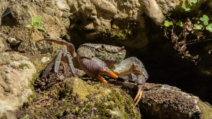 fresh water crabs