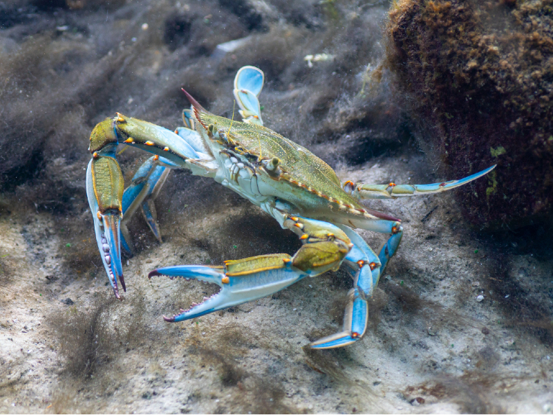 FreshWater Crabs Care