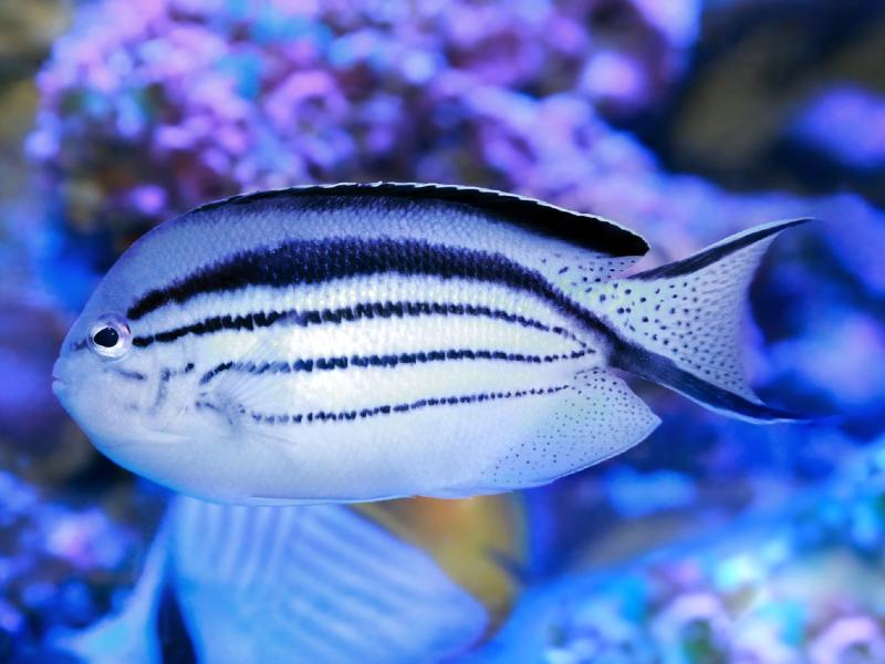 Bellus Angelfish Care Guide