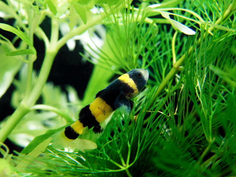 Bumblebee Goby Care