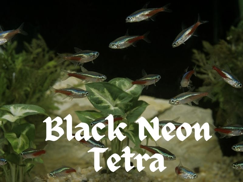 Black neon tetras swimming near the bottom of a planted tank