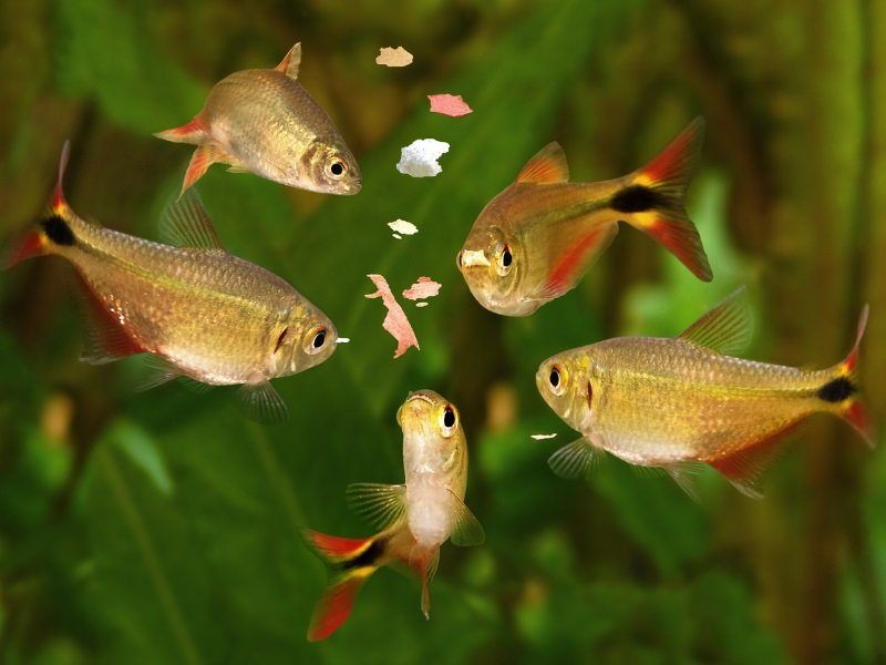 A small school of Buenos Aires tetras feeding on fish flakes